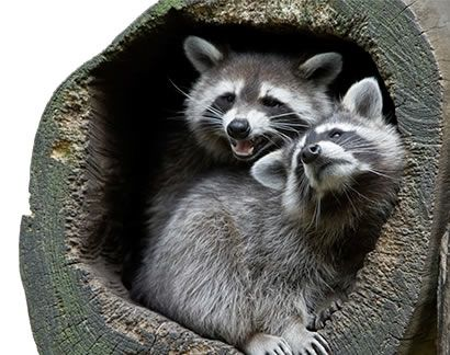 How To Keep Raccoons And Cats Out Of Your Pond