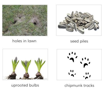 Signs of Damage: holes in lawn, seed piles, uprooted bulbs, tracks