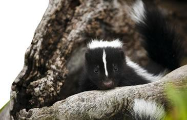 A skunk peeking over tree roots