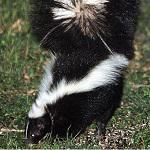 Trapping and Relocating Skunks