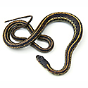 non-poisonous snakes