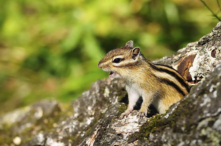 Chipmunk Making Sounds Havahart