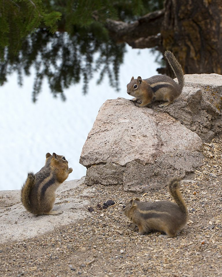 Havahart Three Chipmunks