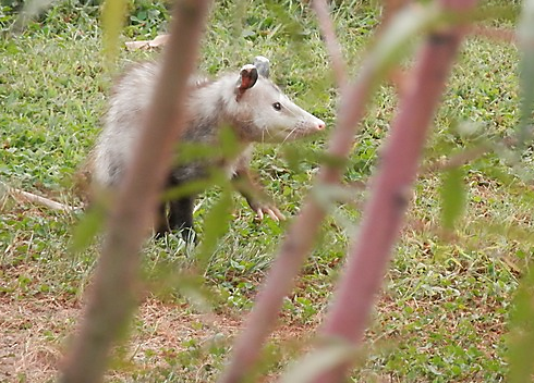 opossums in yard