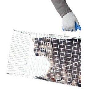 Raccoon in a Trap