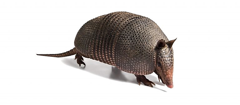 armadillo on white