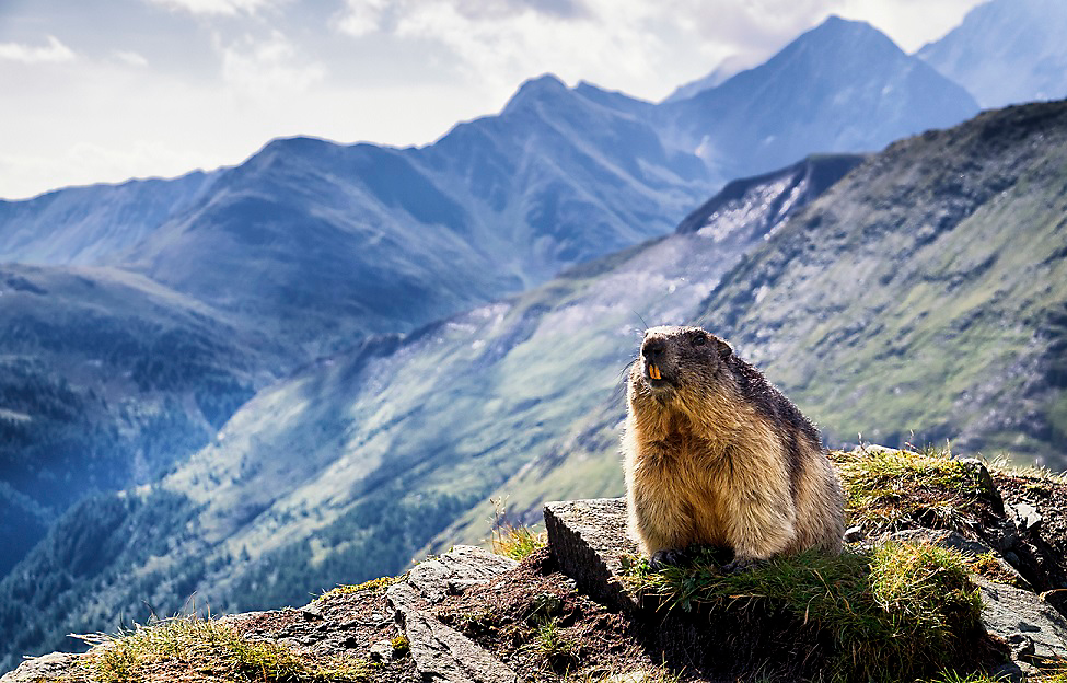 marmot on a mountain range